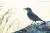 Roquero solitario (Monticola solitarius)