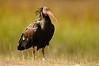 Ibis eremita (<em>Geronticus eremita</span></em>)