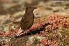 Collalba negra hembra (Oenanthe leucura)
