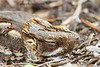 Chotacabras pardo/ Red-necked Nightjar   (<em>Caprimulgus ruficollis</span></em>)