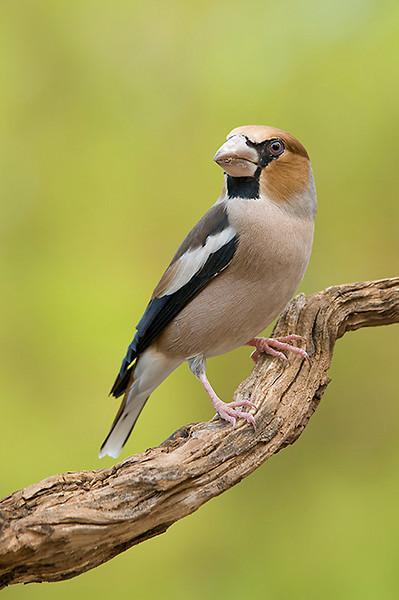 Picogordo (<em>Coccothraustes coccothraustes</span></em>) / Hawfinch
