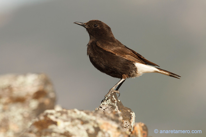 Collalba negra macho (Oenanthe leucura)