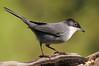Curruca cabecinegra en comedero (<em>Sylvia melanocephala</span></em>)/ Sardinian warbler in the feeder