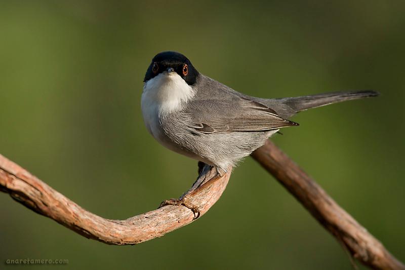 Curruca cabecinegra macho(<em>Sylvia melanocephala</span></em>) / Sardinian Warbler
