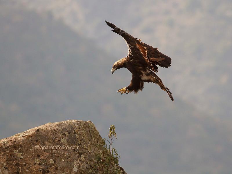 Águila imperial ibérica  (Aquila adalberti)