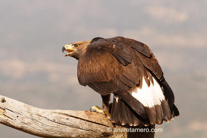 Águila real joven (Aquila chrysaetos)/ Golden eagle