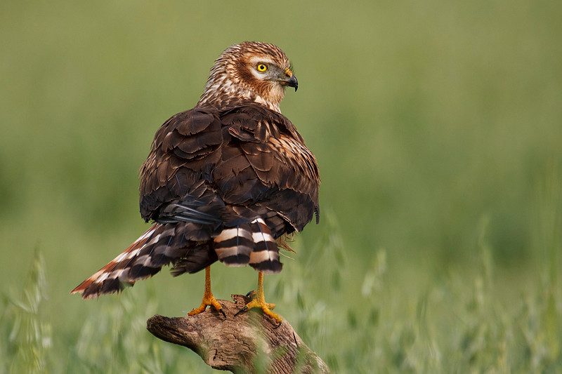 Aguilucho cenizo hembra (<em>Circus pygargus</em>) / Montagu's Harrier female
