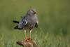 Aguilucho cenizo macho (<em>Circus pygargus</span></em>) / Montagu's Harrier male