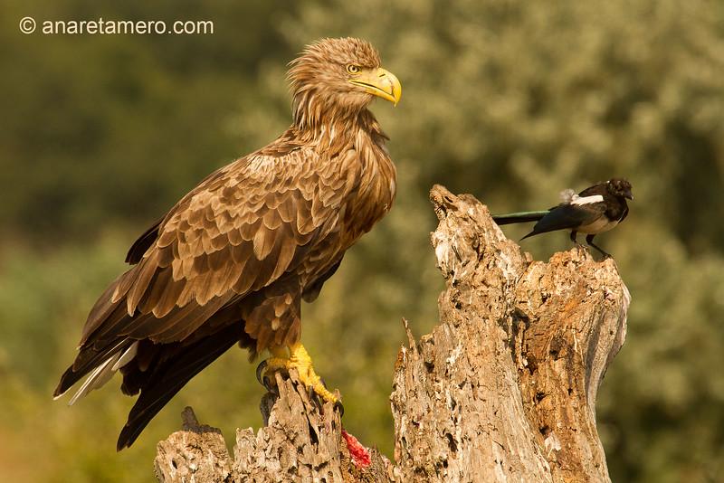 Pigargo europeo (Haliaeetus albicilla)/ white-tailed eagle
