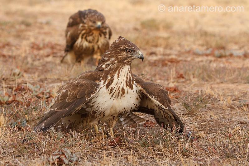 Busardo ratonero (Buteo buteo)/ Common buzzard