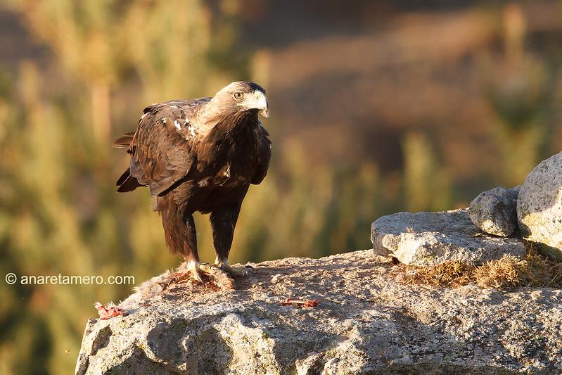Águila imperial ibérica macho (Aquila adalberti)