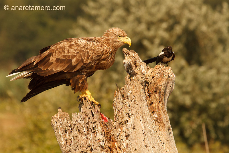 Pigargo europeo (Haliaeetus albicilla); white-tailed eagle