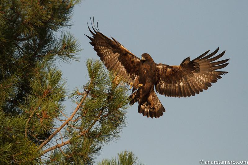 Águila real (Aquila chrysaetos)/ Golden eagle