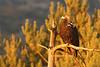 Águila imperial ibérica hembra (Aquila adalberti)