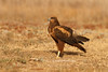 Aguilucho lagunero occidental (Circus aeruginosus) /Marsh harrier