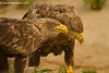 Pareja de pigargo seuropeo (Haliaeetus albicilla)/ White tailed eagle