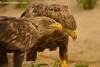 Pareja de pigargo seuropeo (Haliaeetus albicilla)/ White tailed eagle