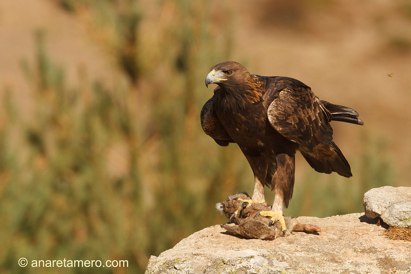 Águila real (Aquila chrysaetos)/ Golden eagle