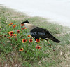 caracara in wild flowers