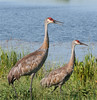Sandhill Cranes at Viera Wetlands