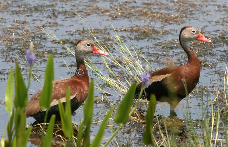 Black-bellied whistling ducks, Viera Wetlands.