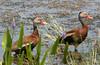 Black-bellied whistling ducks, Viera Wetlands.