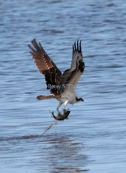 This osprey caught more than we did!