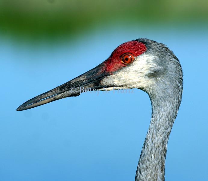 Closeup of sandhill crane, Viera wetlands (color enhanced)