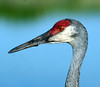 Closeup of sandhill crane, Viera wetlands (color enhanced)