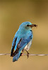 Bluebird, taken in Paradise, Montana.