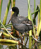 American coot with broken bill.