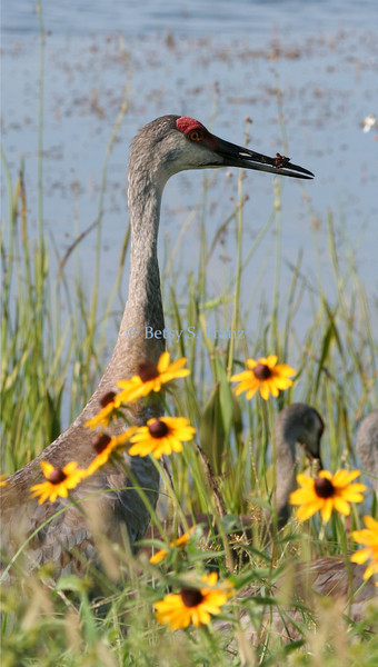 Even Sandhill Cranes love a nice walk in the wildflowers!