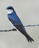 Tree swallow, taken in Paradise, Montana.
