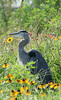 Great Blue Heron enjoys a frolic in the flowers.