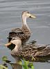 ducks1118