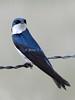 Tree swallow, taken in Paradise, Montana.