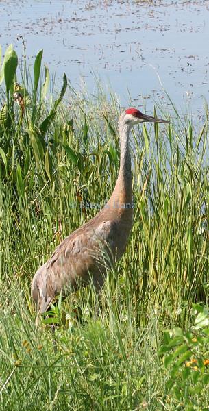 Sandhill Crane admires the beauty of the Viera Wetlands