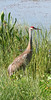 Sandhill Crane admires the beauty of the Viera Wetlands