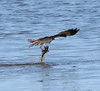Osprey fishing the Indian River Lagoon