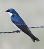 Tree swallow taken in Paradise, Montana.