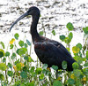 Glossy ibis, taken at Viera Wetlands, Brevard County, Florida.