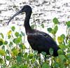 Glossy ibis, taken at Viera Wetlands, Brevard County, Florida.