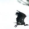 Rüppell's Griffon Vulture (Gyps rueppellii)<br /> Rombo, Kenya<br /> IUCN Status: Near Threatened (trend: decreasing)