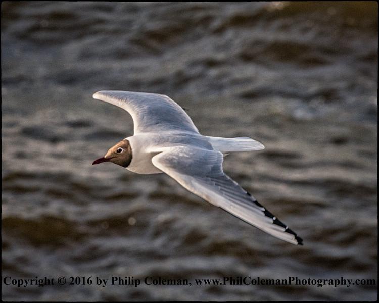 Arctic Gull