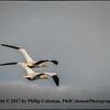 Northern gulls