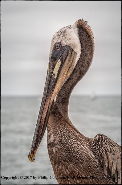 Pelican, Oceanside, Calif.