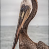 Pelican, Oceanside, Calif.