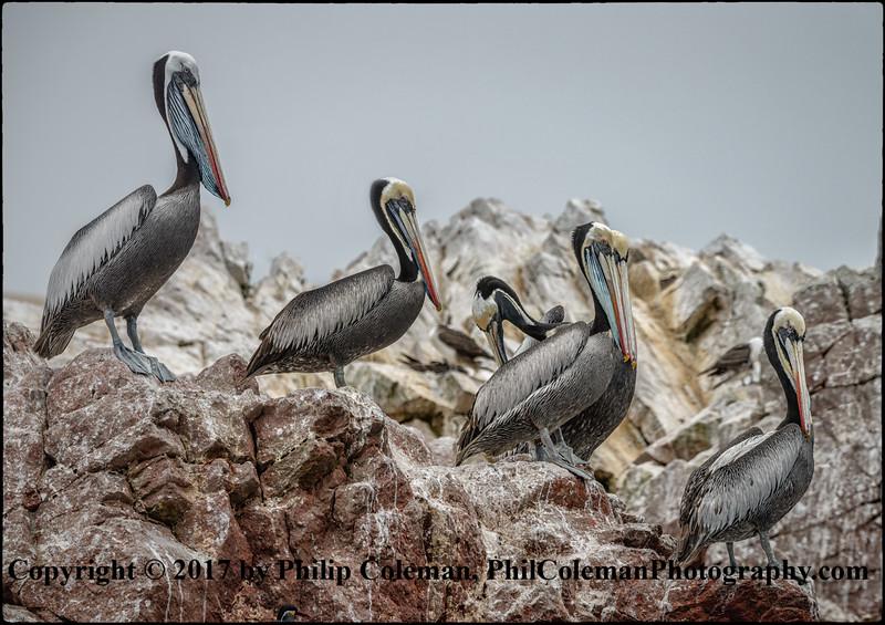 Peruvian pelicans, Islas Ballestas, Peru