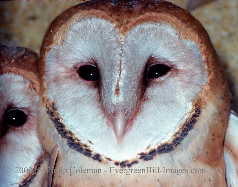Juvenile Barn Owls