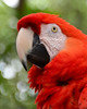 Scarlett Macaw<br /> Alligator Farm<br /> St. Augustine, Florida<br /> April 2013